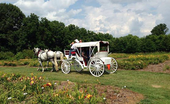 Horse Drawn Carriage Gainesville