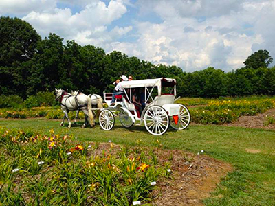 Percheron Horse Carriage Team Northern Virginia